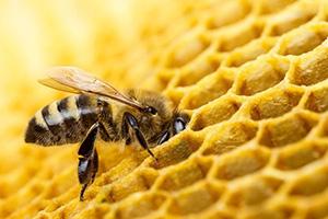 A méhek titkos élete, a méhrajzás