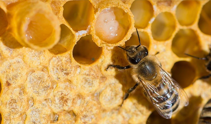 Méhpempő - Bodó méhészet
