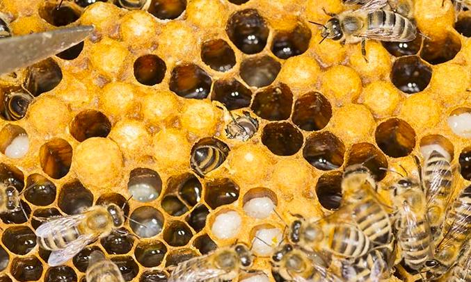 méhpempő, ár, vásárlás, termelőtől - Bodó méhészet