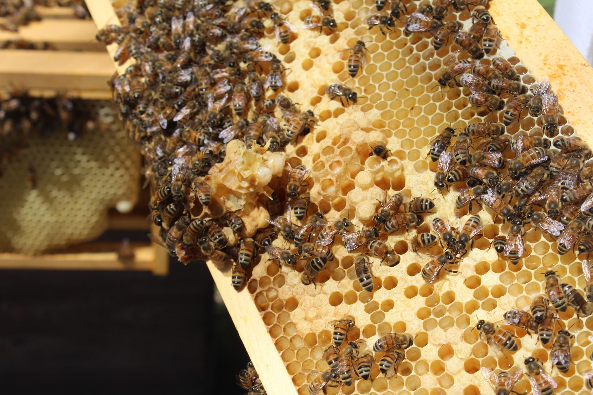 Méhpempő adaptogén, terheség, babavárás - Bodó méhészet